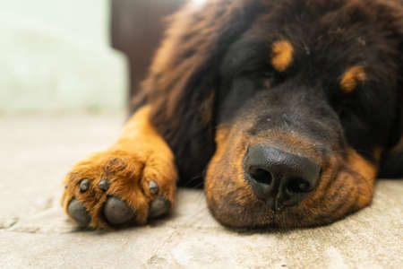 Puppy Tibetan Mastiff resting after a tiring walk. Dog portrait. Sunny day