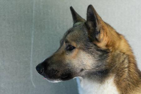 Beautiful portrait of a dog. Siberian Laika. Beautiful husky. Фото со стока