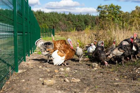 A flock of turkeys. Poultry. Agriculture. Copy paste.
