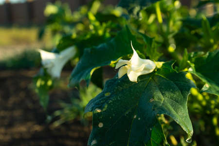Showing green leaves and white blooming blossom which be both a poisonous ornamental plants.
