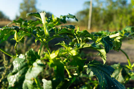 Plants of Datura. Showing green leaves and white blooming blossom which be both a poisonous ornamental plants. Stock Photo