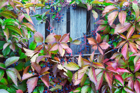 Wood lattice with red leaves of wild grapes Banco de Imagens