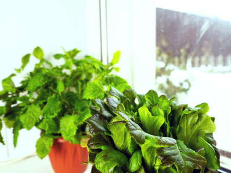 Growing lettuce at home in a pot on a window. Selective focus.
