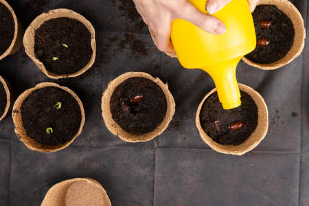 Girl watering litchi chinensis seeds planted in peat pots for growing seedlings. Growing seedlings Stock Photo