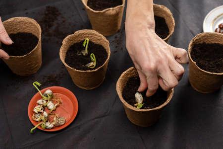 Girl plants seedlings in peat pots. Growing seedlings.
