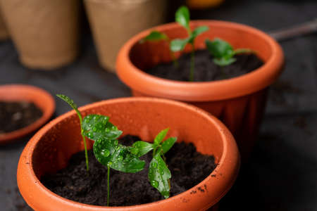 Seedlings in pots on the table. Background image. Copy space. Stock Photo