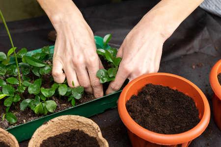 Girl plants seedlings in plastic pots. Growing seedlings.