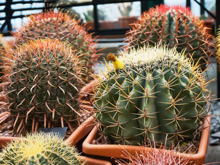 Cactus and succulent in flower pots