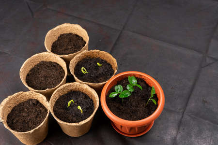 Seedlings in pots on the table. Background image.