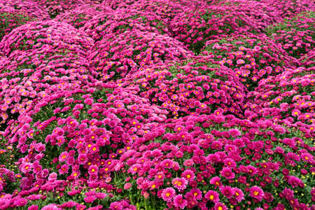 Many scarlet chrysanthemum flowers. Background image from a flowerbed. Copy space