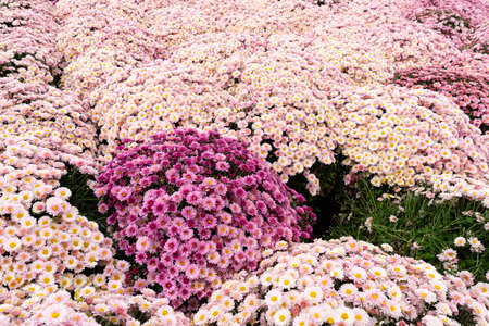 Lots of pink chrysanthemum flowers. Background image from a flowerbed. copy space