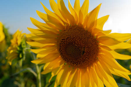 Field of blooming sunflower. Sunflower close-up and bees pollinating it. Agricultural production. Farming. Growing food