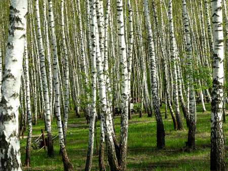 Green birch forest in the spring. Grove of birch trees with green leaves in spring