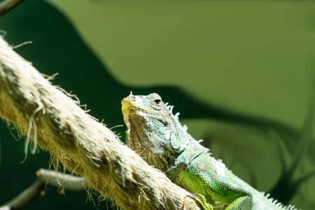 A green iguana sits on a rope in the sun