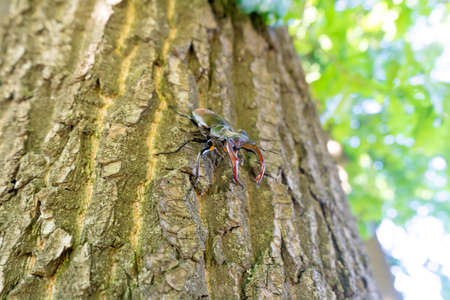 A male stag beetle crawls down a tree trunk. Archivio Fotografico