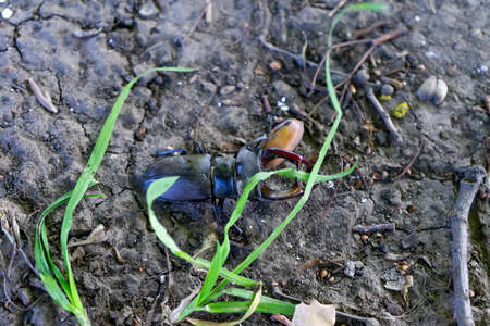 A male stag beetle crawls on the ground among the grass. Archivio Fotografico