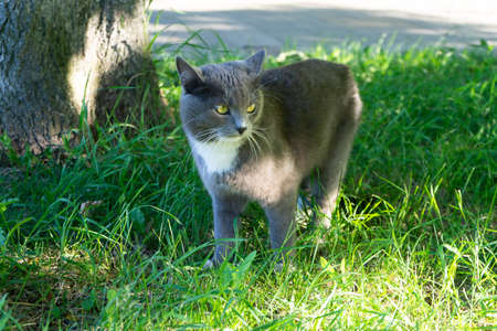 A grey cat walks in the green grass. Domestic cat in the sun.