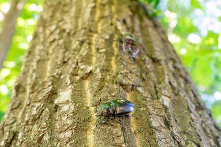 A male stag beetle crawls towards a female along a tree trunk