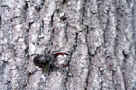 A male stag beetle crawls down a tree trunk. Stock Photo