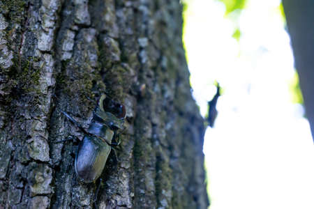 A male stag beetle crawls up a tree trunk. Archivio Fotografico