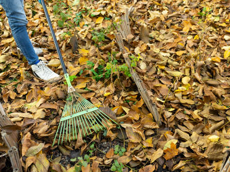 A man cleans up the fallen yellow leaves in the garden. Green rake the leaves. Fallen leaves in the garden. Archivio Fotografico