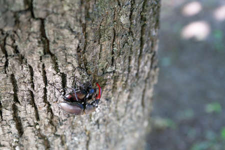 Two types of beetles are breeding on a tree trunk in early spring