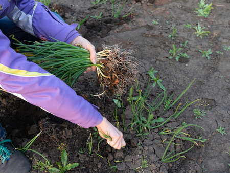 A woman harvests onions in the garden beds. Harvesting.A woman harvests onions in the garden beds. Harvesting.