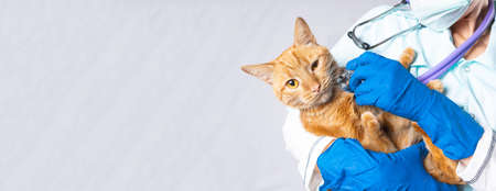 A veterinarian holds a bright red cat in his arms and listens to it with a stethoscope.