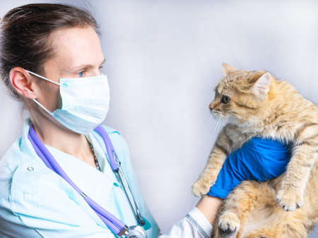 A vet girl holds a gray cat in her arms.