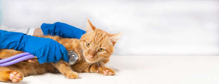 A bright red cat on a white table at the vet. Listening to the heart with a stethoscope