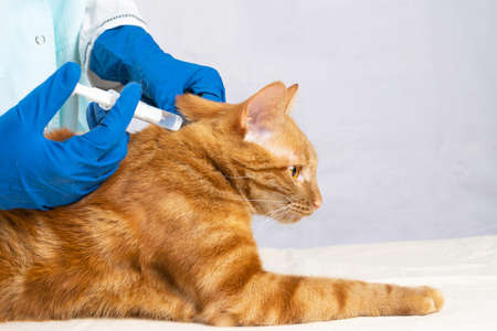 The veterinarian gives an injection to a bright red cat. Treatment of pets