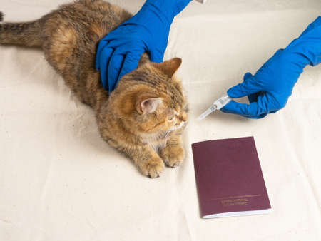 The cat is on the vets table for the annual vaccination. The concept of annual vaccination of pets. Фото со стока