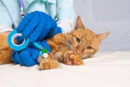 A bright red cat was put on a catheter. The veterinarian fixes the catheter with bandage.