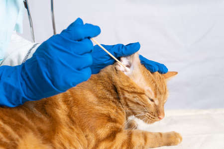 The vet girl cleans the cat's ears with cotton swabs 版權商用圖片