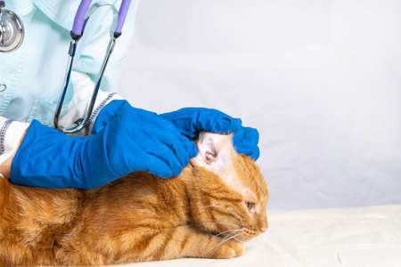 The vet girl cleans the cats ears with cotton swabs