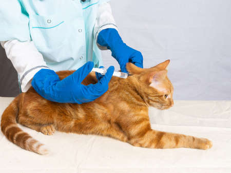 The veterinarian gives an injection to a bright red cat. Treatment of pets.