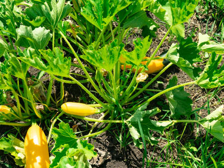 Squash plant with blossoms, zucchini in the garden, organic vegetables.Courgette plant fruits growing in the garden bed outdoors. 版權商用圖片