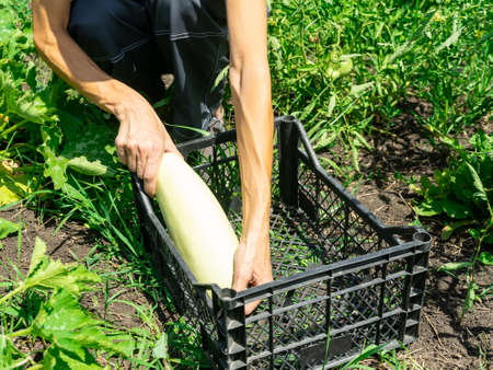 Woman harvesting zucchini in her garden, and putting them in a basket.