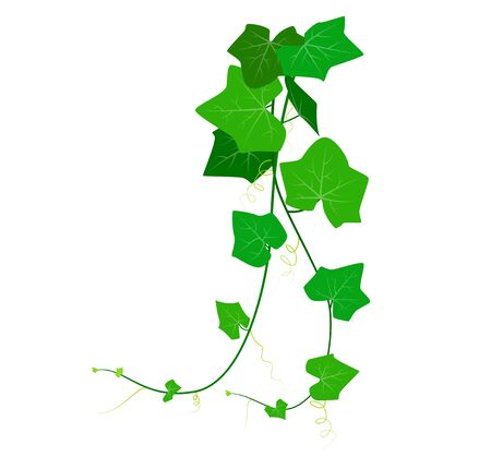 Vector Illustration of Coccinia Grandis or green ivy isolated on white background