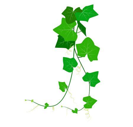 Vektor-Illustration von Coccinia Grandis oder grünem Efeu isoliert auf weißem Hintergrund