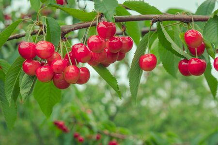 Close up group of ripe and fresh red cherries hang on cherry trees in Fruit Village or Orchard at Hokkaido, Japan.