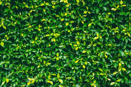 Green leaves wall texture background in garden.