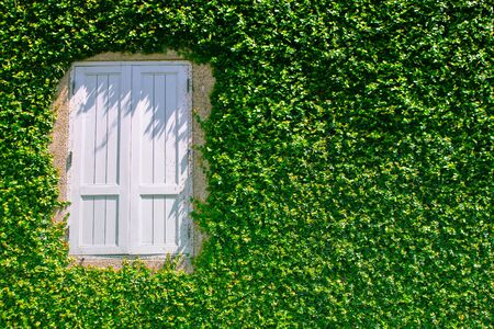 Architecture of white window covered with green ivy at outside of buildings for gardening decoration.