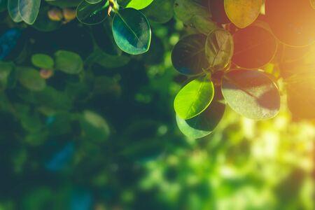 Green natural view close up green leaves in garden with sunlight in the morning. Stock Photo