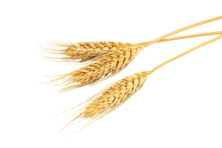 Close up dried ear of barley or wheat isolated on white background.