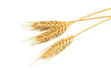 Gros épi d'orge ou de blé séché isolé sur fond blanc.