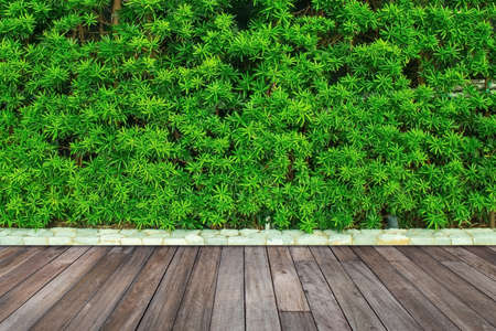 Green leaves or bush wall texture background with wooden floor. 版權商用圖片