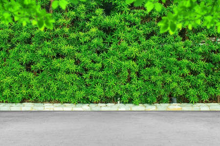 Green leaves or bush wall texture background with concrete floor.