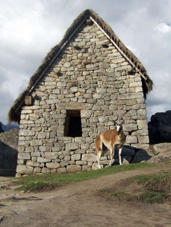 the lama: Lama at the lost city of Machu Picchu in Peru.
