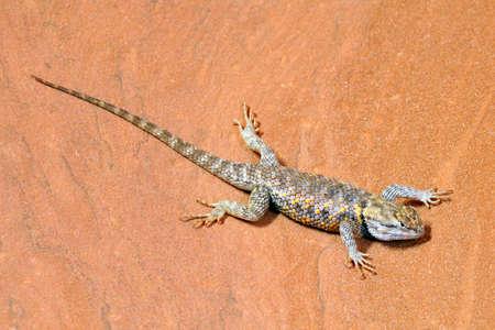 southwest usa: Desert Spiny Lizard (Sceloporus Magister) on sandstone in the southwest USA. Stock Photo